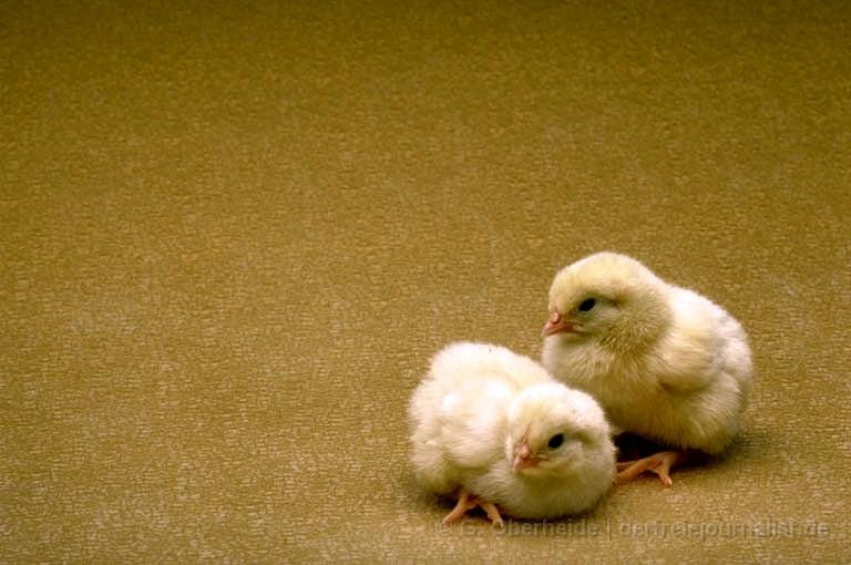 Aus den Eiern werden nach 21 Tagen Küken...